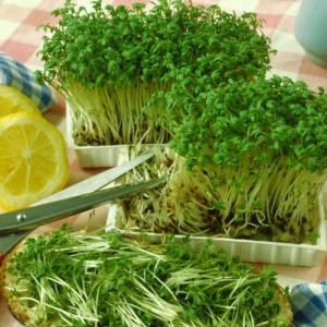 Выращивание салата в теплицы