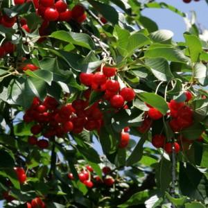 Особенности выращивания войлочной вишни